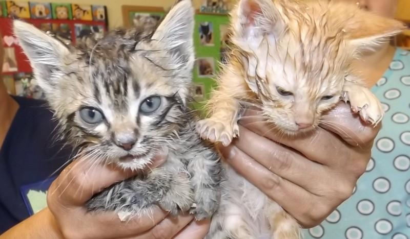 Foster_kittens