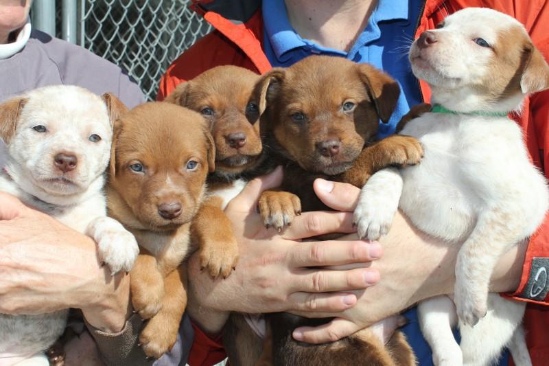 Foster_pups